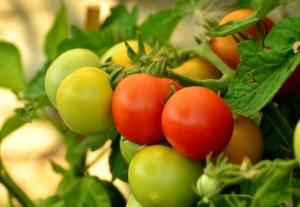 Tomaten düngen mit Brennnesseljauche