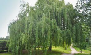 Weidenbaum Rinde
